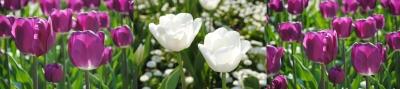 tulpen-mantra-mai